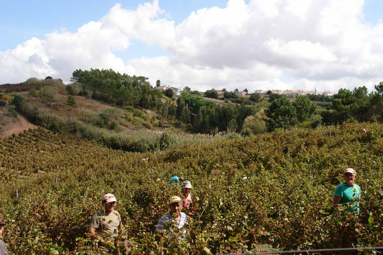 Let the harvest begin. Black grapes harvested usually two weeks after white grapes.