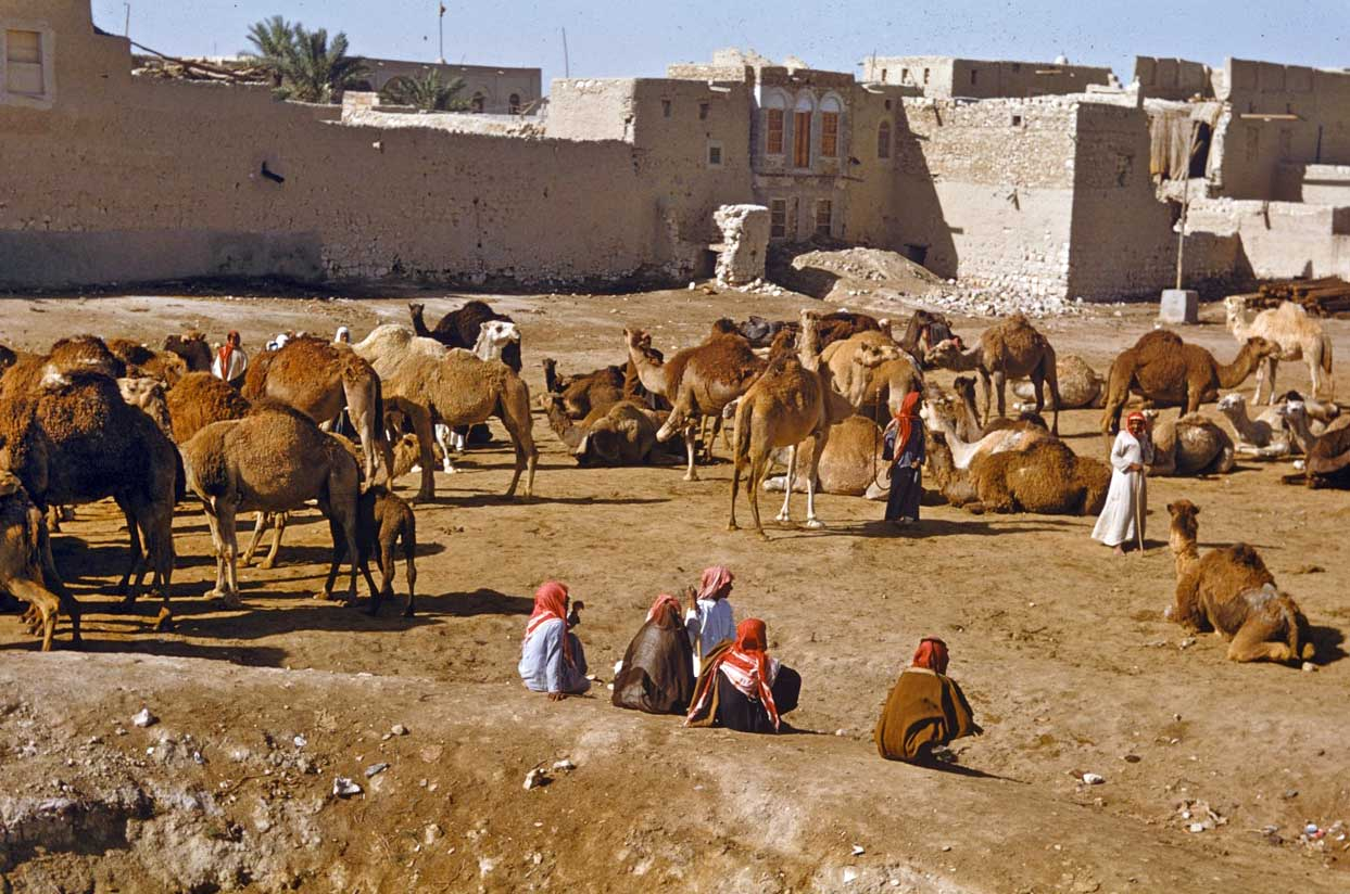 The camel market in Hofuf.