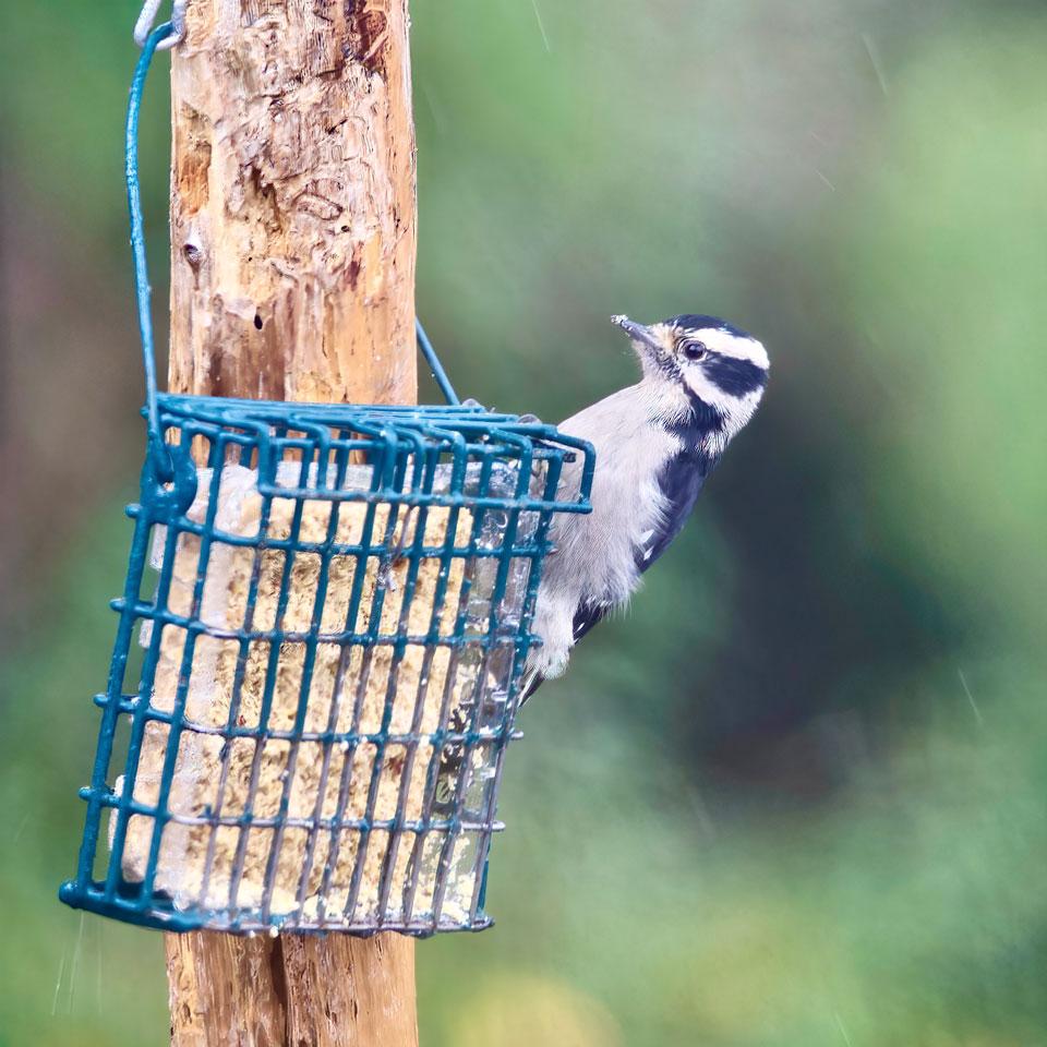 Downy Woodpecker, Bellingham, WA USA. Photo by Robert Alan.