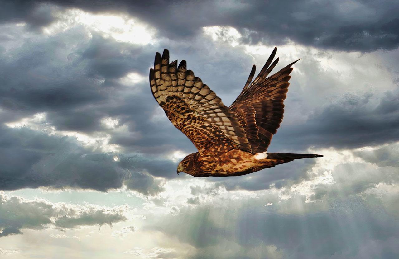 Northern Harrier, Edison, WA USA. Photo by Robert Alan.