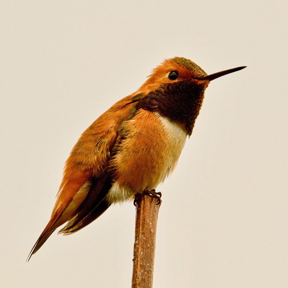 Rufous Hummingbird, Bellingham, WA USA. Photo by Robert Alan.