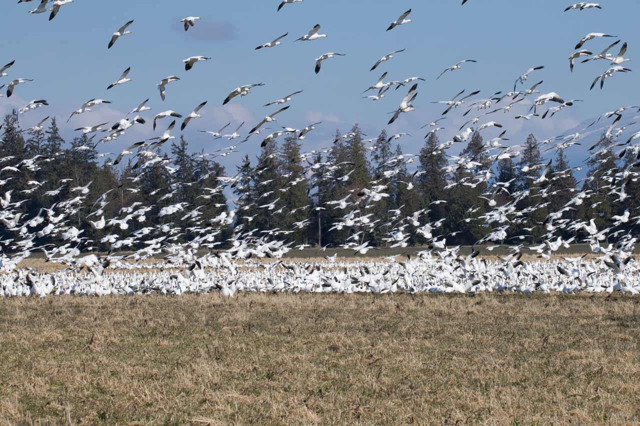 Snow Geese, Mt. Vernon, WA USA. Photo by Robert Alan.