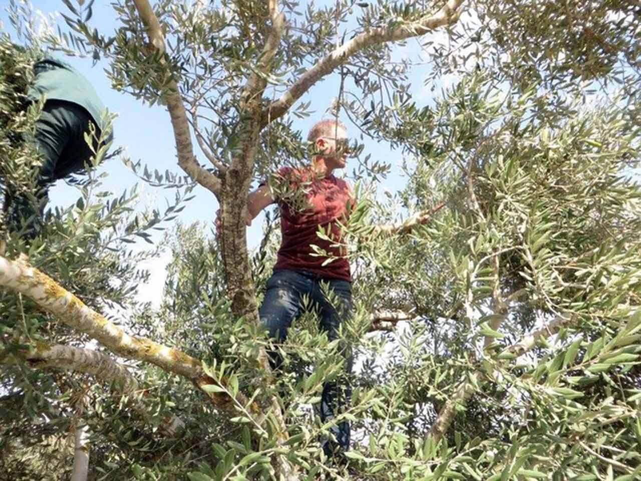Maad Abu-Ghazalah in one of his olive trees at Daily Hugz, Asira al-Shimaliyah, Palestine