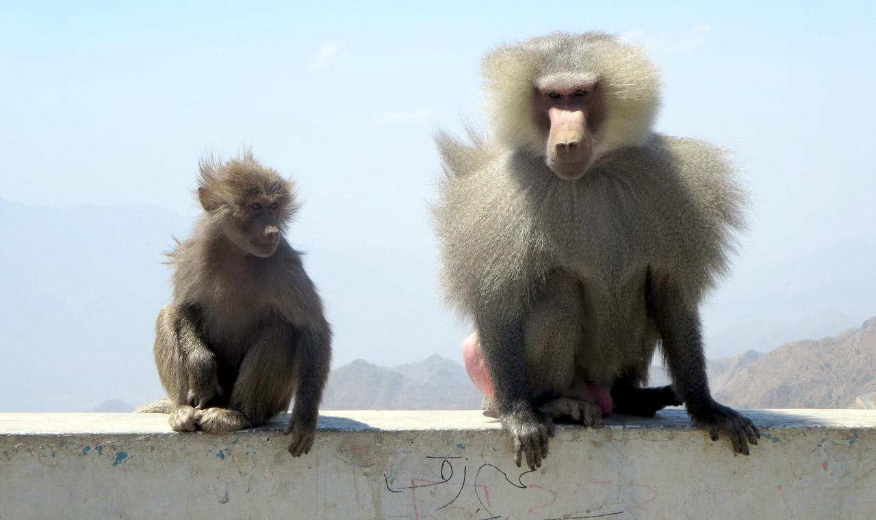 Hamadryas baboons thrive in the mountainous terrain. © Mark Lowey.