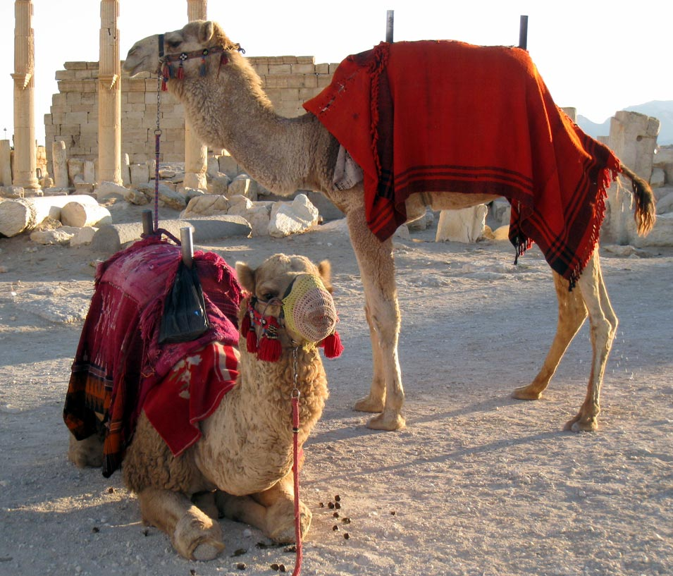 Camels for hire. © Mark Lowey 2021. All rights reserved.