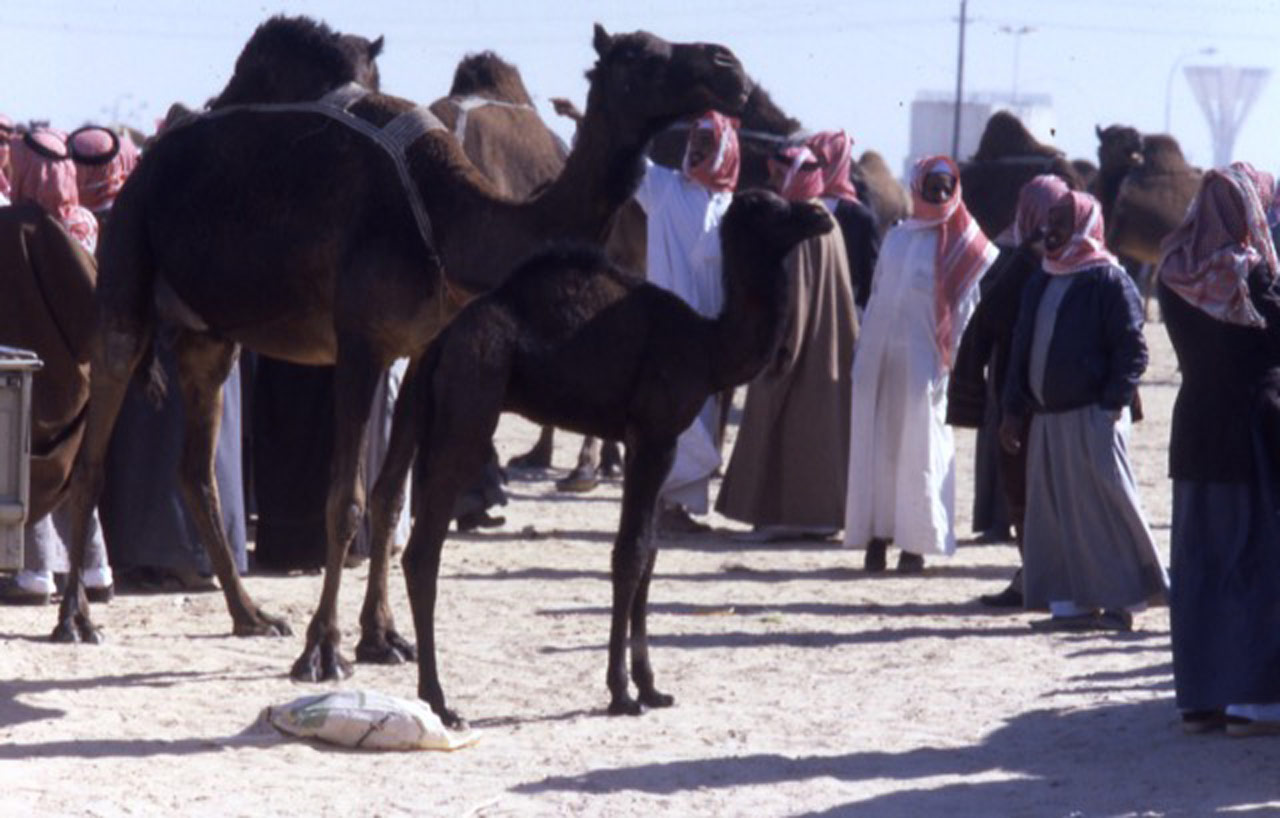 Hofuf Camel Market 1985