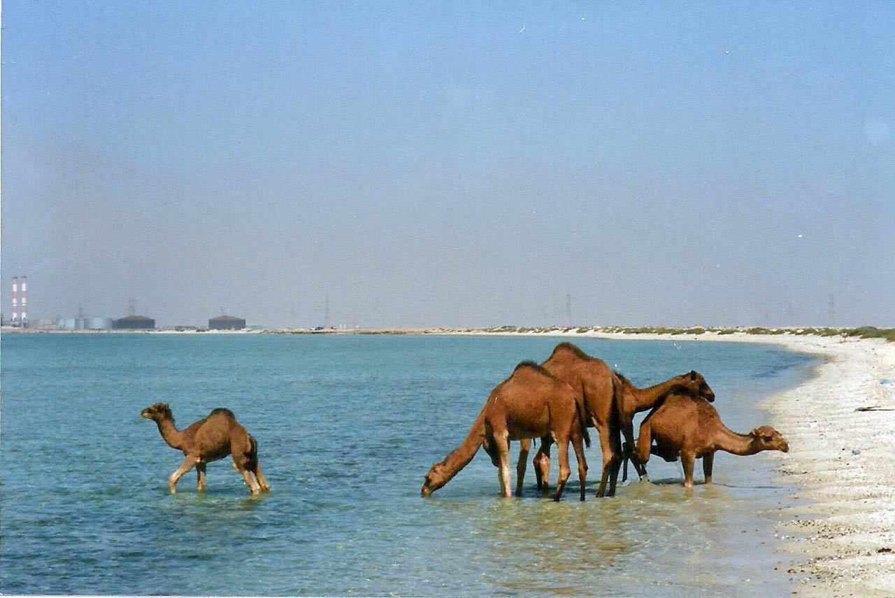 Several years ago, Arvid Koris took this photo while visiting the west coast of Saudi Arabia close to the Saudi Aramco Al Muajjiz Terminal near to Yanbu. He and his wife Jakki were on the beach when they witnessed these camels as they wandered into the sea, drinking the salt water. The younger one splashed around.