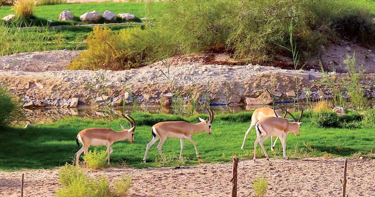 Gazelles Grazing in Abqaiq