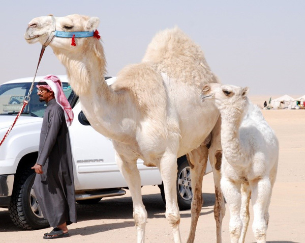Tales of the Bedouin – Part XI: A Memorable Day Out – The Camel Beauty Pageant