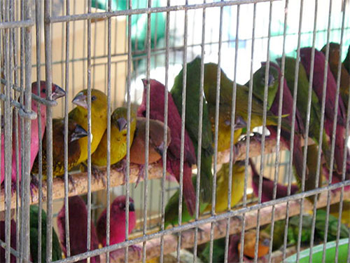Brightly turbaned Persians selling pastel-colored canaries