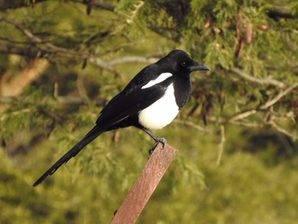 A Morning with Magpies in Billahmer