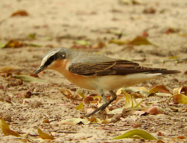 Fall Migration 2020—Catch the Action at Al Ahsa's Birdwatching Hotspots