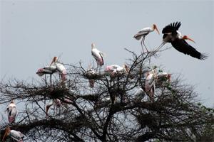 Painted Storks in an Acacia Tree at Keoladeo National Park