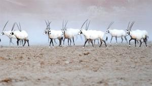 Shaybah Wildlife Sanctuary Inaugurated
