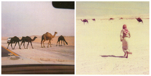 camels crossing the road and camels with man