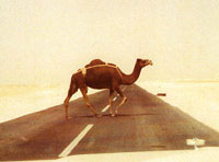 Camel crossing the street