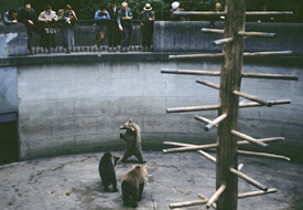 A picture of some of the famous Berne bears frolicking for tourists.